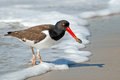 American Oystercatcher Stock Images - 44977184