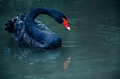 Dark Swan On Blue Lake Stock Images - 44981634