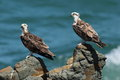 Pair Of Young Osprey Perched On Rocks. Stock Photography - 44990882