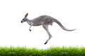 Grey Kangaroo Jump On Green Grass Isolated Stock Images - 45012704