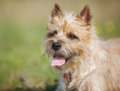 Light-brown Cairn Terrier Dog Royalty Free Stock Photos - 45020838