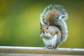 Eastern Grey Squirrel Royalty Free Stock Images - 45024099