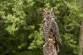Portrait Of A Adult Great Horned Owl Bubo Viriginianus Royalty Free Stock Photo - 45025665