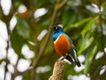 Superb Starling Bird Royalty Free Stock Photography - 45067657