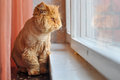Grooming Cat Looking Out The Window Royalty Free Stock Photo - 45073485