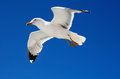 Flying Seagull Royalty Free Stock Photography - 45076007