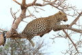 African Leopard Royalty Free Stock Image - 45091416