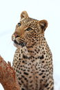 African Leopard Royalty Free Stock Images - 45091509