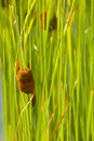 Cattail, Green Background Stock Photos - 4510043