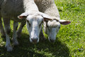 Two Sheep Stock Photography - 4511302