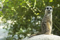 Looking Meerkat Royalty Free Stock Photo - 4513345