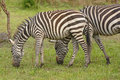 Young Zebra With Adult In The Forest Royalty Free Stock Photos - 45112618