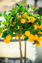 Small Ornamental Tangerine Tree Royalty Free Stock Photography - 45117637
