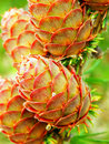 Larch Tree Detail And Cones Stock Photography - 45120492