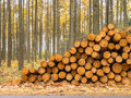 Stack Of Timber In A Yellow Colored Larch Forest Royalty Free Stock Photography - 45129007