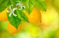 Branches With Lemons Royalty Free Stock Photo - 45129525