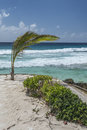 Young Palm Tree, South Coast, Barbados, West Indies Stock Photo - 45141480