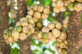 Delicious Fresh Wollongong Fruits On Tree In The Wollongong Royalty Free Stock Images - 45165179