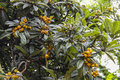 Loquat Tree Royalty Free Stock Photography - 45176277