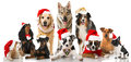 Christmas Dogs Stock Images - 45179844