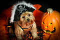 Halloween Dog Wearing Pirate Hat With Pumpkin Stock Image - 45187111
