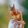 Red Squirrel In Winter Royalty Free Stock Images - 45196619