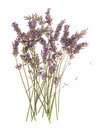 Dry Flowers Of Lavender Plant Isolated On White Royalty Free Stock Photo - 45200855