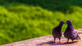 Pigeons In Love Stock Image - 45219771