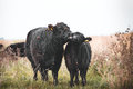Galloway Cattle Royalty Free Stock Images - 45241319