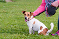 Jack Russell Sitting And Being Stroked Stock Image - 45255711