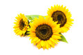 Sunflowers On The White Background Stock Photos - 45272353