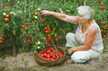 Woman Working In Her Garden, Collects Tomatoes Royalty Free Stock Photos - 45287688