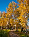 Birch Grove Road Autumn Royalty Free Stock Photography - 45288897