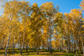 Birch Grove Autumn Foliage Stock Images - 45289114