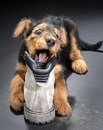 Chewing On A Boot Stock Photography - 4531142