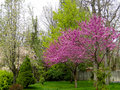Redbud Trees In Spring Stock Images - 45307414