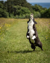 Dog Running And Playing Royalty Free Stock Photography - 45332417