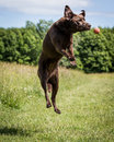 Dog Running And Playing Royalty Free Stock Photography - 45332437