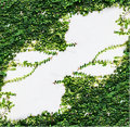 White Wall Green Ivy Plant. Royalty Free Stock Photography - 45338207