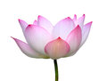 Beautiful Lotus(Single Lotus Flower Isolated On White Background Royalty Free Stock Image - 45356136