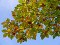 Beech Leaves Royalty Free Stock Photography - 45371517