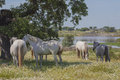 Horses In The Pastures Full Of Oak Trees. Sunny Spring Day In Extremadura, Spain Stock Image - 45379011