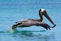 Pelican In Doctor S Cove Beach In Tortola, Caribbean Stock Photo - 45393180