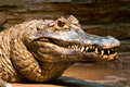 Crocodile Stock Image - 4546381