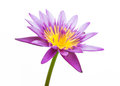 Purple Water Lily Isolated Stock Images - 45420234