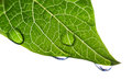 Green Leaf With Water Droplets Stock Image - 45465451