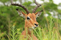 Antelope In Safari Park In South Africa Royalty Free Stock Photo - 45466525