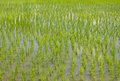 Paddy Rice In Field Stock Photography - 45479202