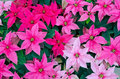 Greenhouse Cultivation Of Poinsettias Royalty Free Stock Images - 45493969
