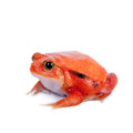 Madagascar Tomato Frog Isolated On White Royalty Free Stock Photo - 45497135